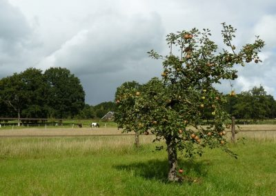 Appelboom Rode Boskoop