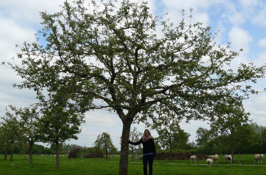 Hoogstam appelboom Goudreinet