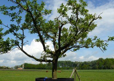 Oude pruimenboom Opal